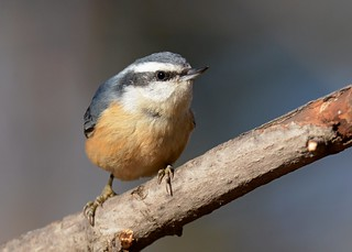 Red-breasted Nuthatch (Explored 12/3/2016)