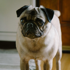 Heitu-00074 (kiddfei2012) Tags: pug dog pet puppy