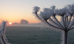 Frozen (brittajohansson) Tags: outdoor plant winter frost frozen cold icy morning sunrise pastel colours soft prickly