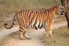Munna deciding (Chandrasekhar Bhattacharya) Tags: tiger kanha forest kisli jungle royalbengaltiger