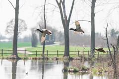 Envol de canards (Laurent Moulin photographie) Tags: envol de canards sauvage canard colvert vol duck etang des portions colombier saugnieu