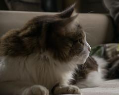 DSC_6145 (Birdiebirdbrain) Tags: mainecoon cat feline fluff domesticcat kat dean nikond3300 nikon tamron tamron18270mm animal animalphotography
