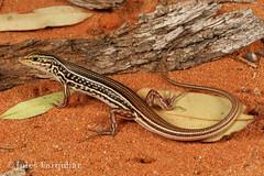 Royal Ctenotus (Ctenotus regius) (Jules Farquhar.) Tags: royalctenotus ctenotusregius ctenotus skink scincidae squamata herpetofauna arid sand aridreptile nanyastation outback lizard julesfarquhar
