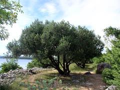 Olivenbaum auf Krk / Kroatien (Ute Rger) Tags: olive insel ute krk kroatien mittelmeer rger
