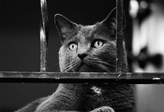 watching (Barbara.K) Tags: portrait blackandwhite pet animal cat monochromatic bryan canon500d eos500d canonefs55250mm canonrebelt1i