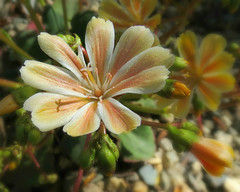 Shades of Yellow:  Lewisia cotyledon (Colorado Sands) Tags: lewisiacotyledon shadesofyellow flowers garden colorado blossoms flores floral flor flora flower fleur blossoming blooms blossom us eaglecounty usa bettyfordgarden yellowflowers sandraleidholdt vail plant