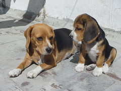Tommy watching to his mom 01 (fdo_ambriz) Tags: dog beagle dogs puppy puppies perro cachorro perros beagles cazador sabueso