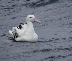 Wandering Albatross - Diomedea exulans (Guy-F) Tags: australia wandering albatross diomedea exulans