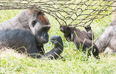 Knuckles (Dan Belton ( No Badger Cull )) Tags: summer baby dan female zoo gorilla leicestershire mother july western belton lowland twycross gorillagorillagorilla 2013