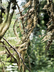 Naavaa (MikeAncient) Tags: nature forest finland fungi fungus mets oldmansbeard luonto usnea sieni naava kuhmoinen