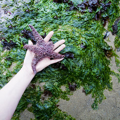 touching the stars (helveticaneue) Tags: ocean trip seaweed green me water oregon hand arm starfish fingers july pale barnacles pacificnorthwest cannonbeach anenome tidepools touched seastar marinelife sunstar tidalpools 2013