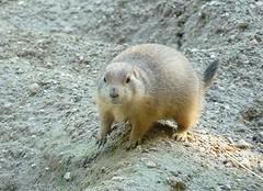 Prairie dog (Cynomys) (Luigi Strano) Tags: animals verona prairiedogs animali veneto cynomys pastrengo canidellaprateria parconaturavivapastrengo