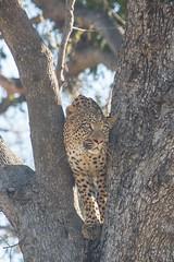 20130601_Botswana_Vumbura_Plains_0238.jpg (Bill Popik) Tags: africa botswana mammals leopards 2places leopardintree 3animals africancats