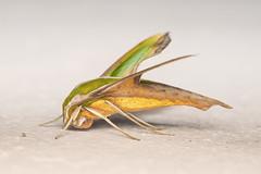 A Moth. (Andy @ Pang Ket Vui ( shootx2 )) Tags: macro green nature beautiful forest fly nikon moth photograph d800 105mm