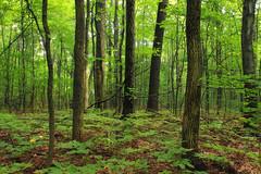 Mountaintop Forest (3) (Nicholas_T) Tags: trees summer nature forest hiking pennsylvania creativecommons vegetation poconos deciduous appalachiantrail bluemountain undergrowth monroecounty kittatinnymountain understory sgl168 stategameland168 temperatedeciduousforest stategamelands168