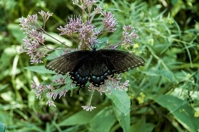 Hoosier National Forest - Nebo Ridge - Pipevine swallowtail on Joe-pye-weed - August 2013
