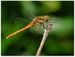 Beautiful darter! (macfudge1UK) Tags: uk summer england male nature fauna bug insect fly europe branch dragonfly wildlife ngc npc damselfly oxfordshire oxon
