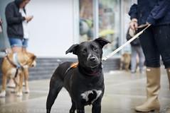 (hilbeans) Tags: nyc rescue dog ny brooklyn puppy foster williamsburg pup adopt badassbrooklynanimalrescue badassbk