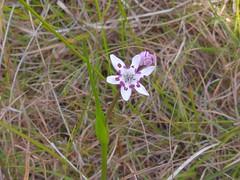 Wurmbea biglandulosa 7 (barryaceae) Tags: heathplants heath plants species new south wales australia old bar park australianheathplants aushp colchicaceae