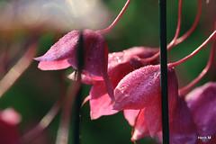 Rhodochiton sanquineus (Henk M gardenphotoblog) Tags: flowers garden tuin bloem hengelo nimg6342