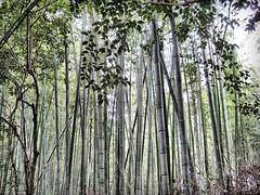 i whish i was a panda 2 (LPstyle) Tags: park trip travel light plants mist nature japan forest photoshop lens temple photography nikon peace bamboo zen processing hd nikkor kioto kansai hdr threes turist