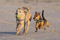 Only one gets the ball..2 dogs playing on the beach. (Hans Surfer (where the action is)) Tags: playingonthebeach topshots natureplus photosandcalendar natureselegantshots faunaandfloraoftheworld panoramafotográfico greatshotss theoriginalgoldseal mygearandme mygearandmepremium mygearandmebronze magicmomentsinyourlifelevel2 magicmomentsinyourlifelevel1 onlythebestofflickr 2runningdogs 2playingdogs