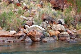 Grand Canyon buck deer