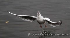Blackheaded Gull (20) (Dennis_Penny) Tags: birds rivers lochs