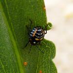 Harlequin Bug nymph thumbnail