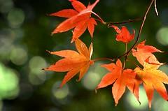 """Autumn in the Park"" (Petra U.) Tags: atumn leaves red october park bokeh herbst laub oktober rot badenbaden nikond5100 nikkor105mm28 flickrchallengegroup flickrchallengewinner"