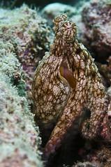 octo3529 (gerb) Tags: topv111 510fav mexico nice topv555 topv333 underwater scuba octopus wildanimal seaofcortez octo cephalopod tvp aquatica 105mmf28micro d7000