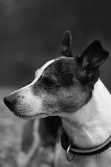 wise boy (mamuangsuk) Tags: jrt meditating snout jackrussel prt dogportrait parsonrussellterrier xe1 wisedog mamuangsuk doginbw wiseboy ldlportraits ldlnoir fujinonebcxf35mmf14