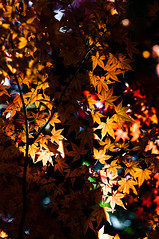 momiji_2013_08 (jam343) Tags: autumn light shadow tree fall leaves 50mm leaf foliage momiji shade 紅葉 松殿山荘
