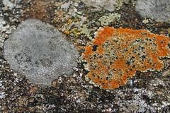 Lichen, Penygarreg dam (Cefn Ila) Tags: lichen elanvalley penygarreg