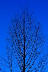 Black on Blue (Terje Hheim (thaheim)) Tags: blue black nature vertical skyline nikon nopeople birch clearsky d90 18200mmf3556gvr