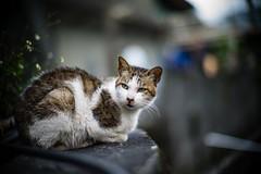 L1071018 (Four_cats) Tags: leica ねこ 貓 m9 猴硐 noctiluxf10