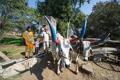 Agricultural Relic (gurbir singh brar) Tags: india cattle farming farmer oxen bovine irrigation rajasthan bullocks kumbhalgarh persianwheel gurbirsinghbrar