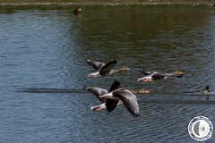 Chi non vola in compagnia (marco.angelini83) Tags: nature birds animals natura uccelli volo palude animali anatra anatre bentivoglio larizza