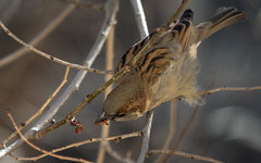 Fauna en Lavapis 3 (James*B) Tags: madrid fauna sparrow pjaro lavapis gorrin argumosa teatrovalleincln