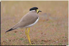 Yellow Wattled Lapwing (Aravind Venkatraman) Tags: india bird birds yellow canon indian birding lapwing aravind chennai birdwatching birder nationa