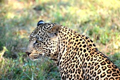 Leopard in Kruger, SA (sroy_sroy) Tags: game private southafrica reserve safari leopard sa rosettes kruger