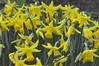 spring_0056 (Peter-Williams) Tags: uk flowers garden sussex brighton crocus tulip daffodils carmelia paviliongardens oark