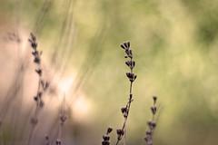no blossoms here... (Gregoria Gregoriou Crowe) Tags: light blur horizontal canon 50mm morninglight dof blossoms harvest lavender dry freshness springtime drylavender