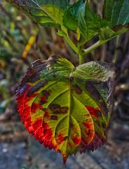 Leaf (Haakon von Martinsky) Tags: autumn red green rot garden leaf flora herbst natura colored tuin garten jesie li ziele ogrd czerwie kolorowy