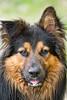 Stud (namra38) Tags: dog tongue closeup australianshepherd blackandbrown floppyear