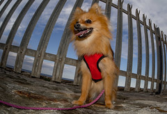 Boo the Pomeranian. (CWhatPhotos) Tags: pictures camera uk portrait england dog pet brown fish cute eye beach wearing animal digital pen that lens lite four photography pom focus foto with view image artistic harbour pics dwarf sandy north wide picture pic olympus images her boo east fisheye have photographs photograph fotos micro colored manual harness pomeranian 35 olympuspen coloured which spitz fit contain 43 thirds pompom seaham f35 75mm mft samyang esystem sanyang zwergspitz thelittledoglaughed cwhatphotos ldlportraits epl5 dwarfspitz