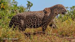 Jaguar - this was one well-fed cat! (Jim Scarff) Tags: brazil jaguar mammals matogrosso carnivores carnivora felidae pantheraonca felids portojofre