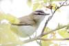 _53F1978 Red-eyed Vireo (~ Michaela Sagatova ~) Tags: dundas redeyedvireo vireoolivaceus birdphotography dvca michaelasagatova spring2014