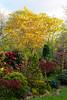 Acer palmatum 'Ozakasuki' in evening sunlight (spring) (Four Seasons Garden) Tags: new uk england fruits leaves sunshine fruit garden four spring seasons blossom foliage acer walsall palmatum fourseasonsgarden ozakasuki