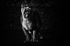 (ricoun2012) Tags: blackandwhite lion felins